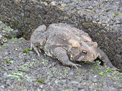 Toad Pic 1 IMG_0531 (PRS North Star) Tags: toads amphibians