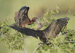 Glossy Ibis feeding its chick (Mawrter) Tags: july82018 glossyibis ibis glib feeding parenting young canon nature wild wildlife oceancitynj nj newjersey bird birds avian plegadisfalcinellus behavior wings tree rookery july summer marsh morning morninglight specanimal