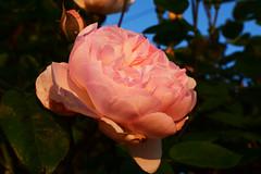 June in the Garden (Mark Wordy) Tags: mygarden summer flowers rosegentlehermione sunset