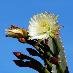 Cereus Cactus Bloom (RV Bob) Tags: arizona gx85 cereus cactus cacti flower bloom nightblooming