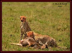 FEMALE CHEETAH WITH HER CUB (Acinonyx jubatus).....MASAI MARA....SEPT 2017. (M Z Malik) Tags: nikon d800e 400mmf28gedvr kenya africa safari wildlife masaimara keekoroklodge exoticafricanwildlife exoticafricancats flickrbigcats cheetah acinonyxjubatus ngc npc