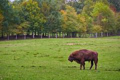 on my way into autumn (blattboldt) Tags: bosbonasus bisonbonasus nature wisent zeiss sony ilce7rm3 alpha7riii manualfocus manualiris manualexposure specialthankstochristophecasenavefromzeissforhispersonalinvolvementinthedevelopmentoftheloxialenseline ⚶ emount loxia2485 loxia2485sonnar 85mm 51695547 sonnar landscape green animal pasture wild bison europe germany schleswigholstein kiel
