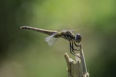 Grandmother (jrosvic) Tags: libellulidae freehand closeup entomology macro anisoptera odonata libélula dragonfly trithemis annulata