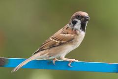 นกกระจอกบ้าน (Bangkok Birds) Tags: นก นกกระจอก นกกกระจอกบ้าน bird sparrow birds