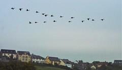 Flying Canada Geese 1 (howell.davies) Tags: canada geese goose birds bird wildlife aquatic water fly flight flying wing hendy wales uk flock nikon d3200 55300mm