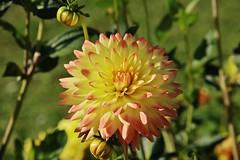Flower (Hugo von Schreck) Tags: hugovonschreck flower blume blüte macro makro canoneos5dsr dahlie tamron28300mmf3563divcpzda010