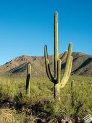 Saguaro (dr_cooke) Tags: arizona tucson cactus saguaro national park arid desert