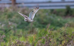 Short-Eared Owl Eldernell-7473 (seandarcy2) Tags: birds bif handheld owls shorteared raptors cambs uk fenland birdsofprey wildlife wild