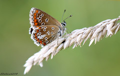 Brown Argus (Georgiegirl2015) Tags: brownargus butterflies lepidoptera grasses wildlife wales bbcwalesnature wildflowers dellalack wildlifephotography canon countryside coastal lavernock august2018 bbcwales