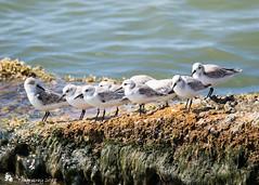 Sanderling (Tony CC Gray) Tags: birds tonygray canon floridakeys bahiahondastatepark sanderling