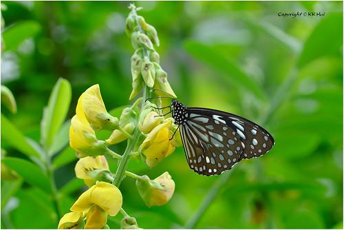 Blue Tiger (Tirumala limniace) 青斑蝶 - 111018_DSF2717j