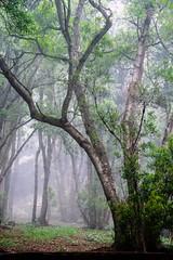 Fog / Niebla (López Pablo) Tags: fog tree green nature elhierro canary islands spain nikon d7200