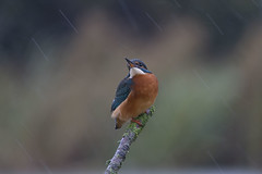 Kingfisher in the rain (peterspencer49) Tags: peterspencer peterspencer49 kingfisher uk somerset southwest