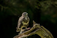Buzzard  (Buteo buteo) (Steven Whitehead) Tags: birds birdofprey bird prey feeding feathers birdsofprey nature wildlife wild woods canon canon5dmk4 500mm 500mmf4 500mmf4is canon500mm 2018