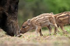 Wild Boar (Nigel Hodson) Tags: canon 1dxmkii 300mmf28ii wildlife wildlifephotography nature naturephotography wildboar boar piglet forestofdean humbug