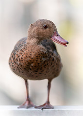 Cute Duck (billcoo) Tags: bokeh animal 6d2 6dii 2 nature brazilian