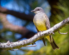 """The Regal Western Kingbird"" (Cathy Lorraine) Tags: beautiful bird westernkingbird regal california north america flycatcher nature outdoors trees sunshine coth5"