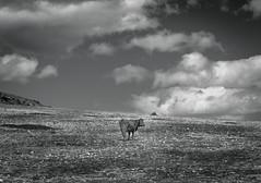 Comarca de Huescar (Tom Neumann) Tags: sony a6000 50mm ilce6000 lanscape countryside cow bw monochrome granada andalucia spain shadow sky clouds nature landscape naturaleza nubes sombra blancoynegro blackandwhite españa vaca