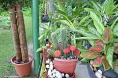 Cactus (hamid-golpesar) Tags: cactus plant flower tree singapore sentosa sentosaisland shangrilasrasasentosaresortspa hotel 5starhotel 5hotel 5star owaysee outdoor tabriz travel iran hamid hamidowaysee hamidgolpesar