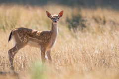 Curious Fawn (Sam J Horne) Tags: fawn fallow deer sigma sigma150600 canon canon700d petworth westsussex wildlife wildlifephotography uk britain britishwildlife photography nature naturephotography