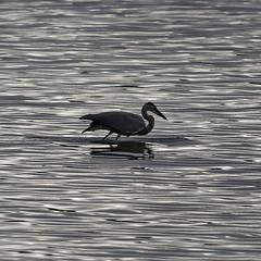 Héron (Elisabeth Lys) Tags: d7200 sigma 150600mm heron birds vioreau lac