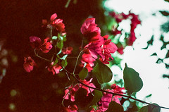 Pink Flowers (BenG94) Tags: losangeles california film filmphotography colorfilmphotography flowers pink