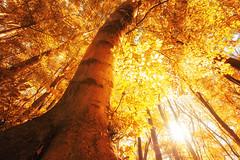 Der Baum im Herbstlicht (Gruenewiese86) Tags: harz wernigerode nebel regen wald waldlandschaft hütte hüttenübernachtung forest forst wipfel waldboden wurzeln naturschutz umweltschutz frisch ökosystem laubwald hoch hellgrün grün botanik baum öko idyllisch laub baumstamm umwelt froschperspektive äste sauerstoff naturwald sicht gros flora bergwald naturfoto naturpark baumwipfel landschaft blätter baumkrone urwald untersicht wälder stimmungsvoll drausen blatt zweige natur frische wurzelwerk holz tier park