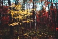 Sprinkle of colors (angelakingjonesphotography) Tags: landscape outdoor trees autumn forest banningstatepark minnesota awardtree