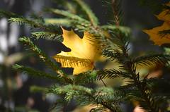 Золотой кленовый лист, подарок осени. (Angelok-Happy) Tags: лес осень кленовыйлист подарокосени красота природаувяданья