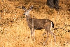 First fall doe (Brown Acres Mark) Tags: blacktaileddeer odocoileushemionuscolumbianus doe siskiyoumountains jacksoncounty oregon usa markheatherington deer
