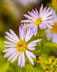 Autumn asters (johnny4eyes1) Tags: closeup bokeh downeast canon5dmark4 purpleflowers acadianationalpark sigma aster daisies asters daisy purple maine canon5dmarkiv macro