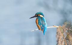 IJsvogel - Kingfisher - Alcedo atthis-197936 (Djien) Tags: vogels oostvaarderplassen