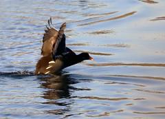 Moorhen. (grahamh1651) Tags: marazion longrockpool birds waterbirds swans mountsbay grebes