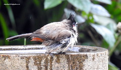 DSCN4371 Red-whiskered bulbul (Pycnonotus jocosus) (vlupadya) Tags: greatnature animal aves fauna indianbirds redwhiskered bulbul pycnonotus kundapura karnataka