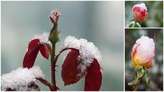 Première neige au jardin (PierreG_09) Tags: seix ariège pyrénées pirineos couserans hiver jardin neige fleur flore flor rose rosier