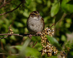 White-throated Sparrow eating Poison Ivy berries (Dendroica cerulea) Tags: whitethroatedsparrow zonotrichiaalbicollis zonotrichia passerellidae passeroidea passerida passeri passeriformes psittacopasserae eufalconimorphae aves bird sparrow poisonivy toxicodendronradicans toxicodendron anacardiaceae sapindales vine leaves berries autumn livingstoncampus rutgersuniversity middlesexcounty nj newjersey