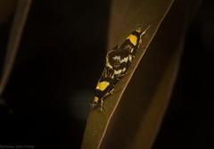 Epithymema helias (dustaway) Tags: arthropoda insecta lepidoptera oecophoridae oecophorinae epithymemahelias australianmoths australianinsects