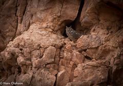 Pharaoh Eagle-Owl /Ökenuv  (Bubo ascalaphus) (Hans Olofsson) Tags: bird fågel marocko morocco ökenuv pharaoheagleowl buboascalaphus