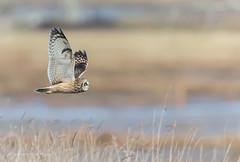 Short - eared Owl (Peter Bangayan) Tags: canon ef500mmf4lisusm wildlife wild owl owls shortearedowl birds nisquallywildliferefuge washington