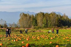 Laity Pumpkin Patch - Pitt Meadows (SonjaPetersonPh♡tography) Tags: laitypumpkinpatch laityfarm farm farmanimals fields pumpkins pumpkinpatch hayrides pittmeadows bc canada nikon nikond5300 explore landscape animals tractorpullhayride hayride activities tractorrides attraction scenic scenery mountains people