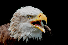 Bald Eagle (Linda Martin Photography) Tags: bird hampshire haliaeetusleucocephalus ringwood baldeagle libertysraptorcentre black background uk nature wildlife naturethroughthelens coth coth5 specanimal ngc npc