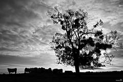 Sous l'arbre (Un jour en France) Tags: monochrome vache arbre cielpaysage ciel canoneos6dmarkii canonef1635mmf28liiusm contrejour silhouette nature noiretblanc noiretblancfrance