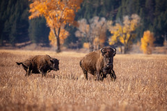 Trying to keep up... (DTT67) Tags: bison america mammal animal stampede running wyoming grandtetons 100400mmii 5dmkiv nature wildife
