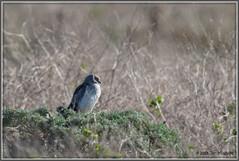 Northern Harrier 3977 (maguire33@verizon.net) Tags: northernharrier pointreyesnationalseashore bird birdofprey grayghost harrier male wildlife