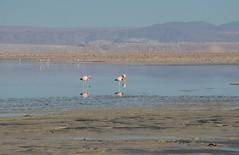2017-11-09_0736_DSC_0702a (becklectic) Tags: 2017 atacamadesert atacamasaltflat birds chile flamingoes lagunachaxa lake piedrasrojastour regióndeantofagasta reservanacionallosflamencos salardeatacama sanpedrodeatacama flamingo flamingos