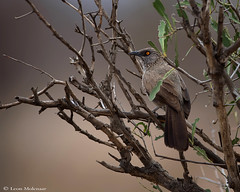 Arrow-marked Babbler (leendert3) Tags: leonmolenaar southafrica krugernationalpark wildlife nature birds arrowmarkedbabbler ngc npc