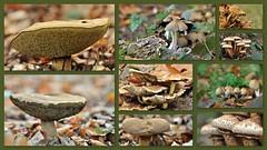 My collection of mushrooms (wilma HW61) Tags: collage photoborder paddestoel mushroom fungus fungo pilz herfst herbst autumn automne autunno natuur nature natur naturaleza nikond90 nederland niederlande netherlands holland holanda paysbas paesibassi paísesbajos europa europe outdoor wilmahw61 wilmawesterhoud