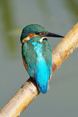 Look Right (Hugobian) Tags: kingfisher female bird birds nature wildlife fauna animal pentax k1 swt lackford lakes