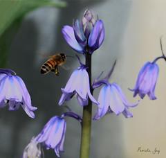 Bee line for a bluebell (Pamela Jay) Tags: bluebell garden nature blue bee pamelajay canon60d nsw australia
