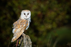 Barn Owl (louise.helen) Tags: birdofprey barnowl owl worldofwings nikon7200 bird birdwatcher